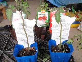 tomato612b.jpg
